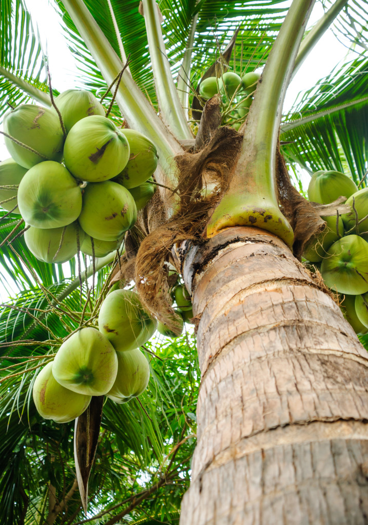 fresh coconut tree in garden